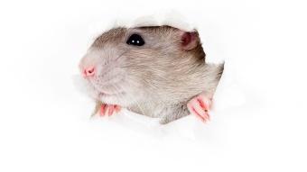 rat in paper hole